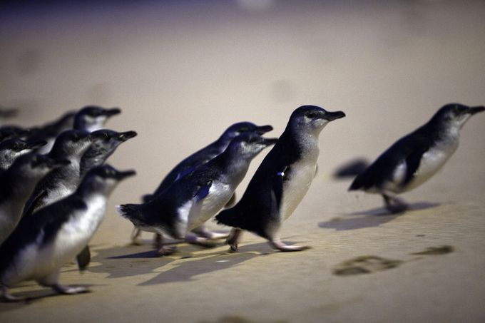 フィリップ島のハイライトはペンギンパレード