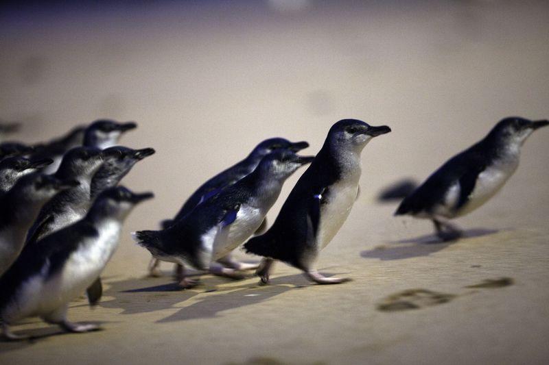 フィリップ島で可愛いペンギンを見る!メルボルンからデイトリップ