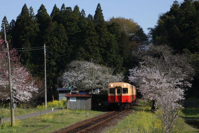 桜のトンネルを抜けて房総の山里を走る