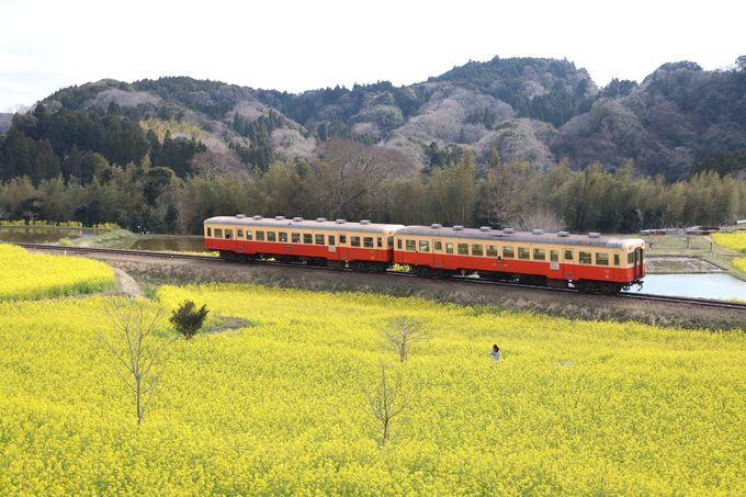 小湊鐵道の沿線を菜の花が彩る!…絶景ポイントは養老渓谷駅近く