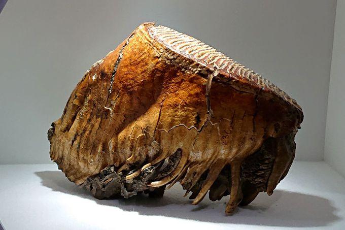 マンモスの化石が目の前に!