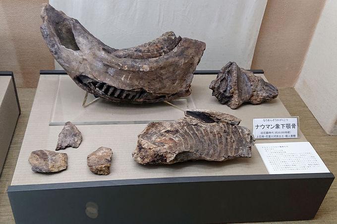 ナウマン象の化石!