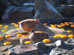 伊豆シャボテン動物公園でほのぼのカピバラ一家の温泉入浴!