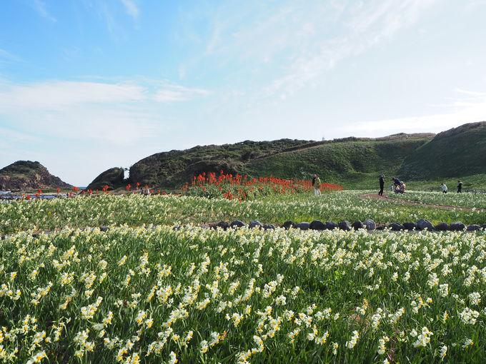 岬に咲く300万本の水仙