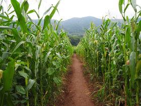 大人もハマる面白さ!伊豆・酪農王国オラッチェ「とうもろこし畑の巨大迷路」
