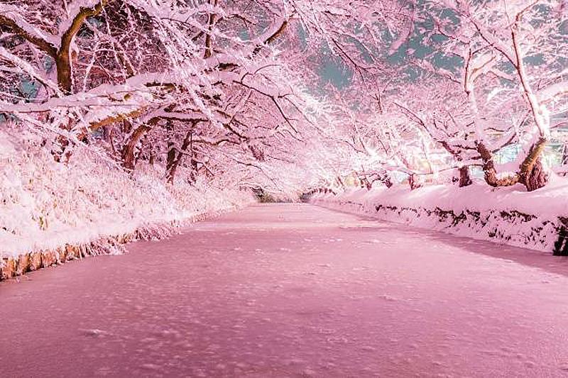 冬に咲くお濠のさくらは、桜の名所である弘前城ならでは!