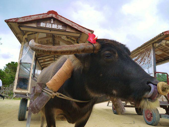 【楽しみ方1】水牛車で集落を巡る