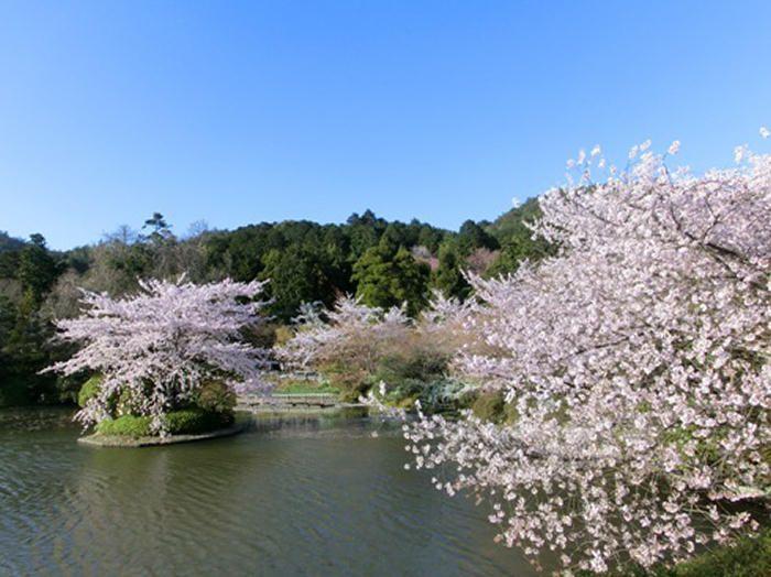 ソメイヨシノの池