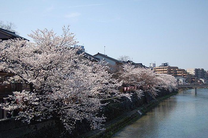 主計町茶屋街の桜