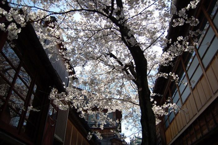 路地に枝を張る存在感のある桜