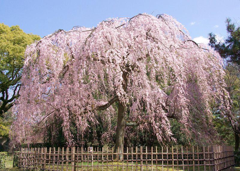アクセス良好!京都御苑の枝垂れ桜はまるでピンクのシャワー!3月末が見頃かも?