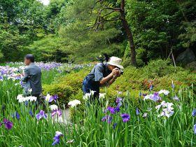平安神宮神苑の無料開放は年2回!6月の開放日は花菖蒲(ハナショウブ)が見ごろ
