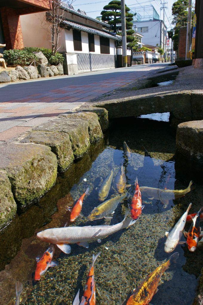 道の脇の用水路にも鯉が…!