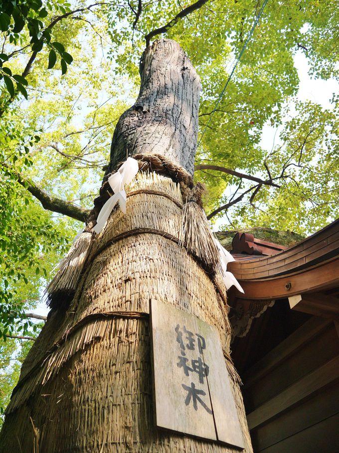 堀越神社境内の樹齢550年の御神木