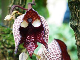 これが花!?温室育ちのダース・ベイダーが京都府立植物園に出現
