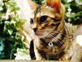「京都ひょう猫の森」ヒョウ柄のベンガルネコたちとめくるめく30分