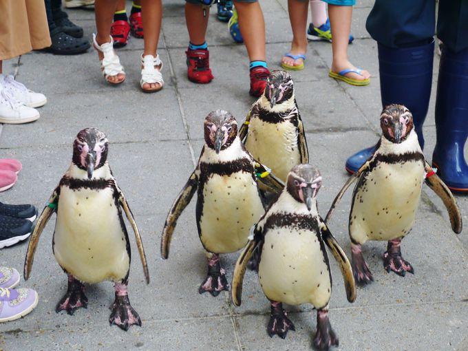 お散歩したいペンギンだけが参加する