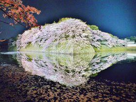 2018年の見ごろは?彦根城でお堀に映るライトアップ夜桜鑑賞