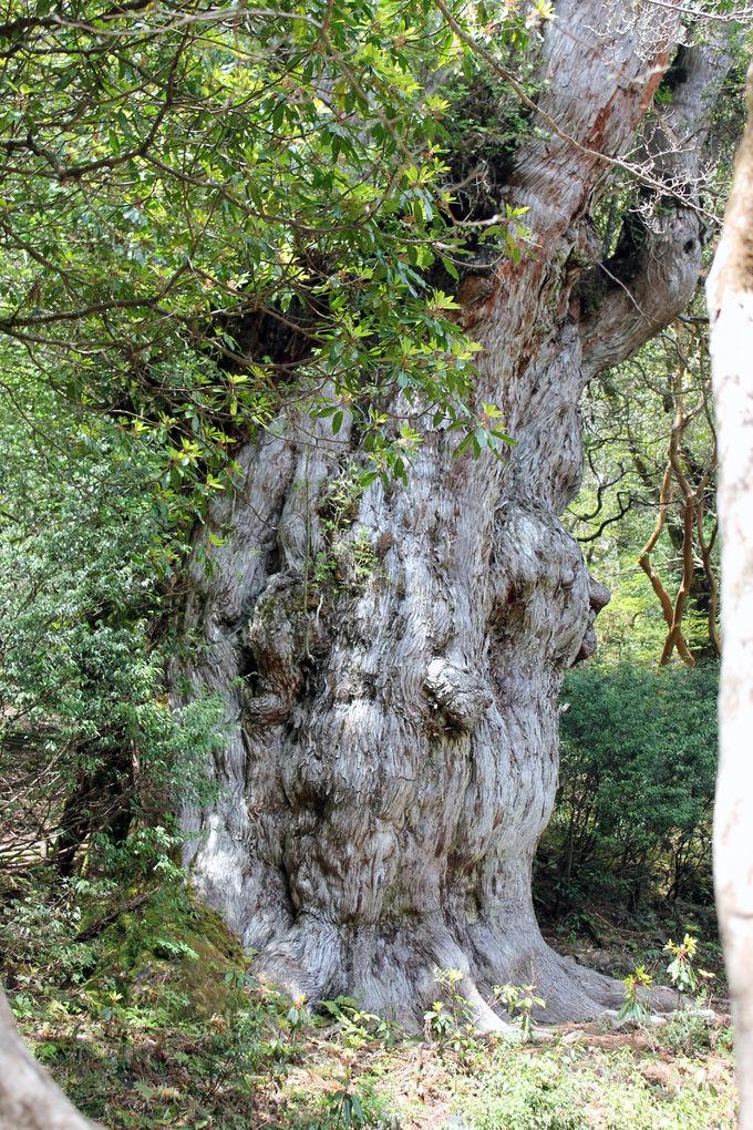 樹齢7200年の「大樹」は何を思う