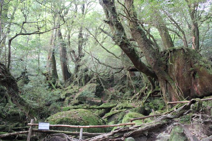 樹齢3000年を数える「原生林」の森