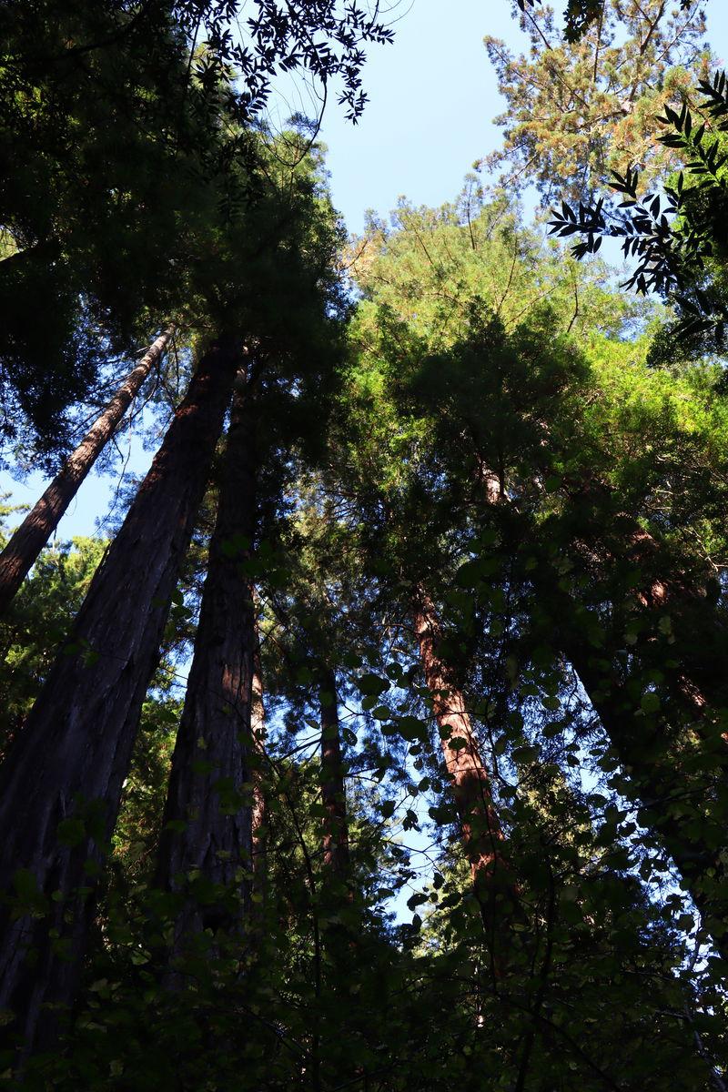 レッドウッドの森で自然に癒されるひと時