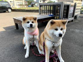 秋田犬とふれあえる特別な宿!大館市「ふるさわおんせん」で癒される