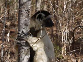 キツネザルの楽園!マダガスカル「キリンディー森林保護区」へ