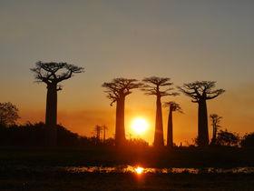 神秘の巨木に暮れる絶景サンセット!マダガスカル「バオバブの並木道」