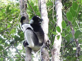 インドリを見るならここ!マダガスカル「ミチンジュ公園」