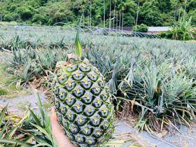 もぎたて新鮮!台湾宜蘭「二湖鳳梨館」でパイナップル狩り体験