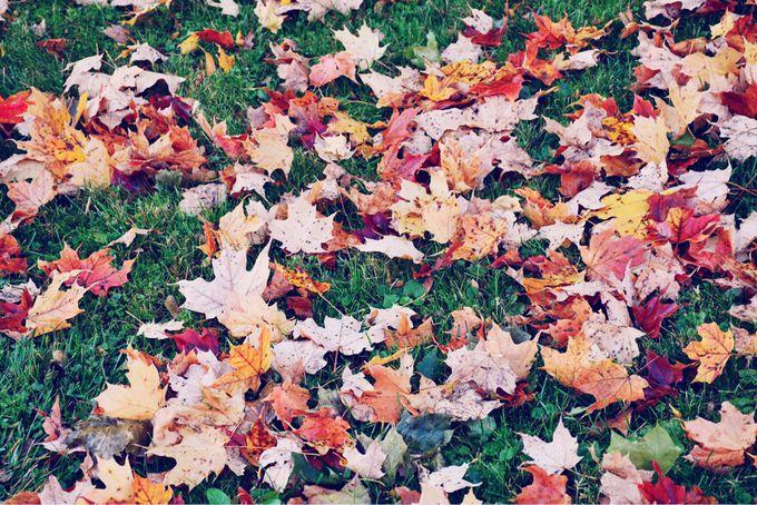 カナダのシンボル「メープルの葉」
