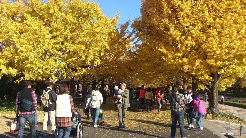 立川『国営昭和記念公園』の紅葉スポット3選!黄金色のトンネルは必見