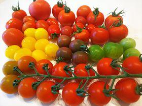 神奈川・藤沢でトマト狩り!「井出農園」13種類を食べ比べ