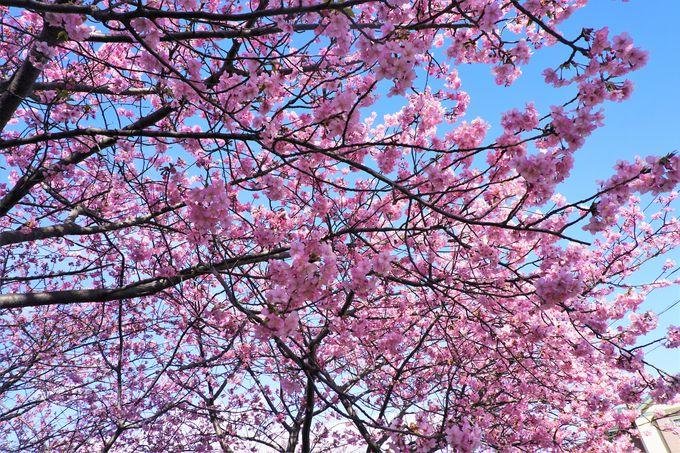 春を先取り!早春を鮮やかな春色に彩る三浦海岸の河津桜