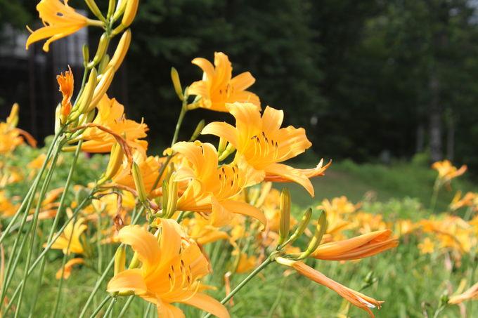 ニッコウキスゲやひまわりなど、様々なお花も鑑賞しよう!