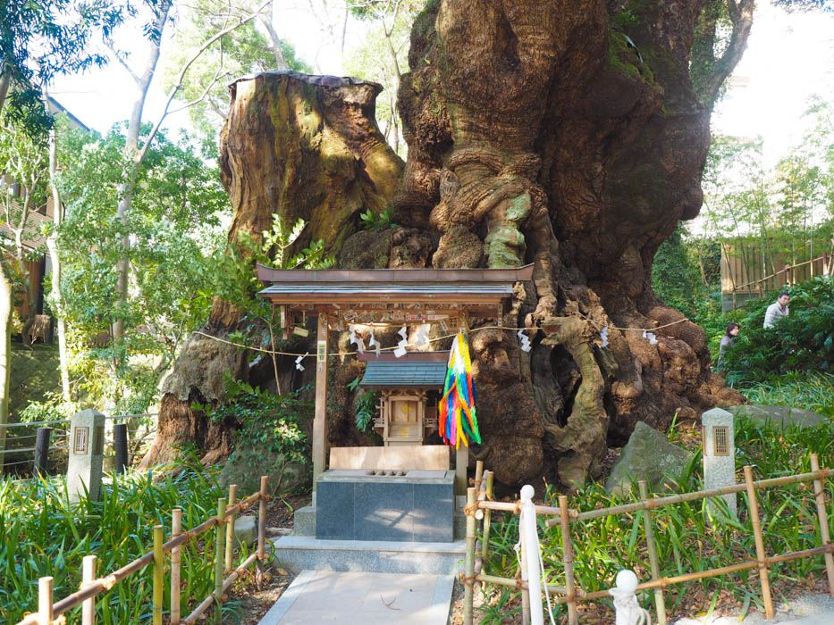 「来宮神社の大楠」の画像検索結果