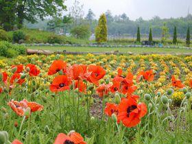 可憐な花たちに会いに行きませんか?山中湖「花の都公園」