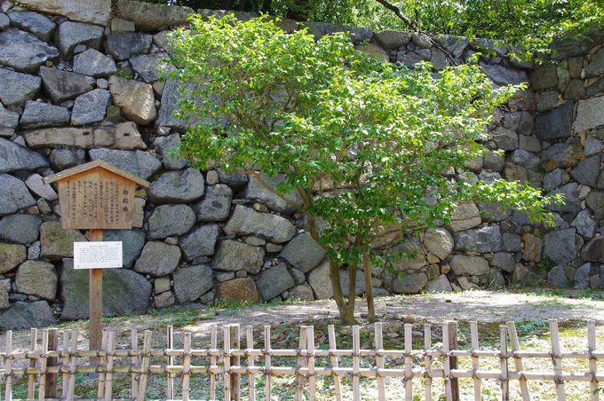 江戸時代から春になると大輪の花を咲かせる「御殿椿」
