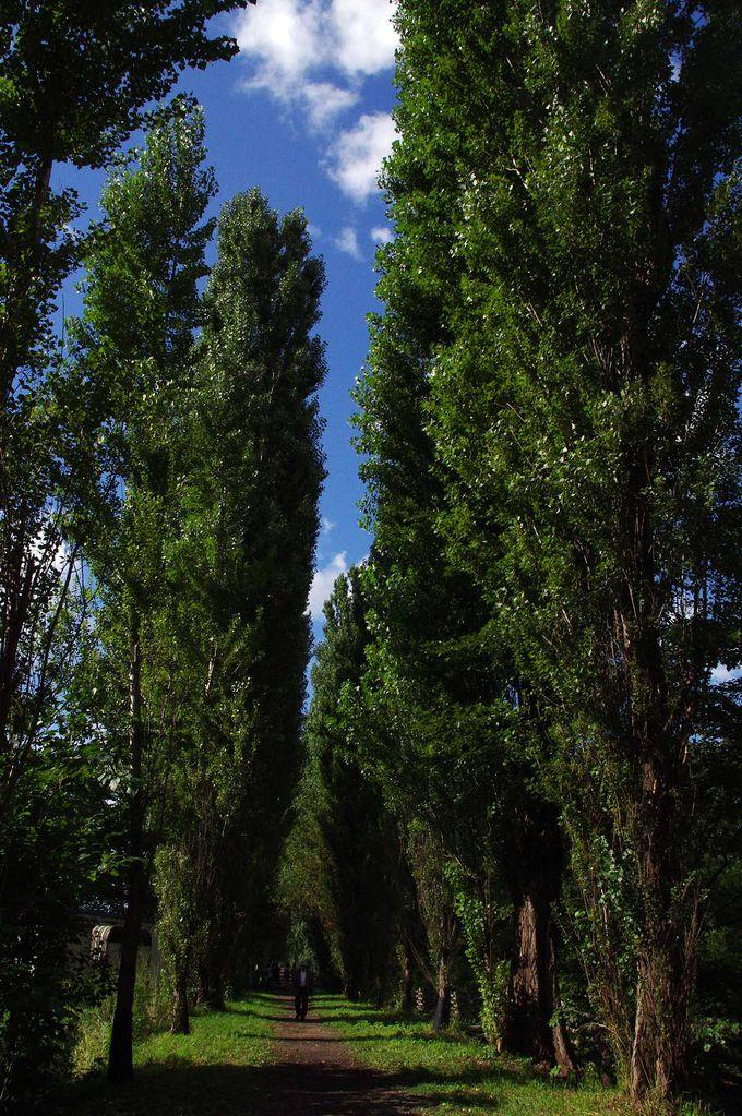 蘇った北海道大学のポプラ並木