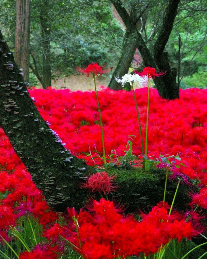 木の上に咲く紅白の曼珠沙華