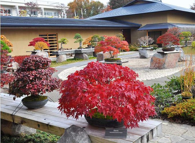 庭園は常時40〜50点の盆栽を展示