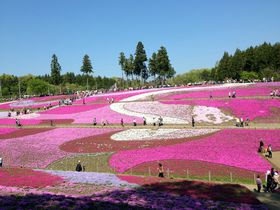 毎年パワーUP!芝桜の名所、秩父 羊山公園「芝桜の丘」