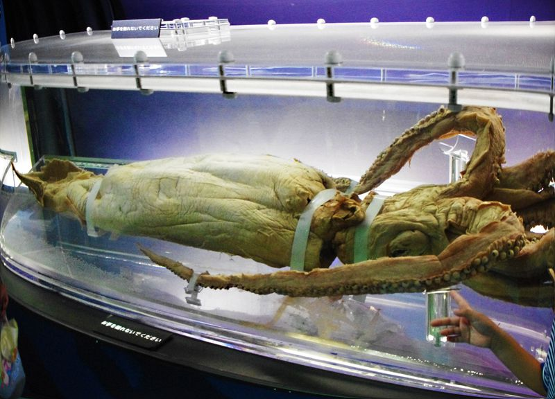 """深海のトワイライトゾーン!イカした、巨大""""ダイオウイカ""""に会える!!上野・国立科学博物館『深海展』"""