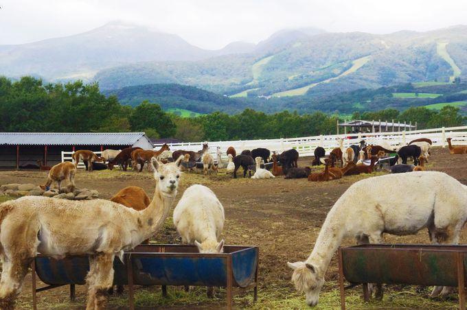 その数400頭!日本一アルパカがたくさんいる牧場
