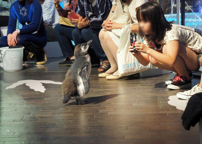 すみだ水族館のアイドル!赤ちゃんペンギン「はっぴ」も歩きます