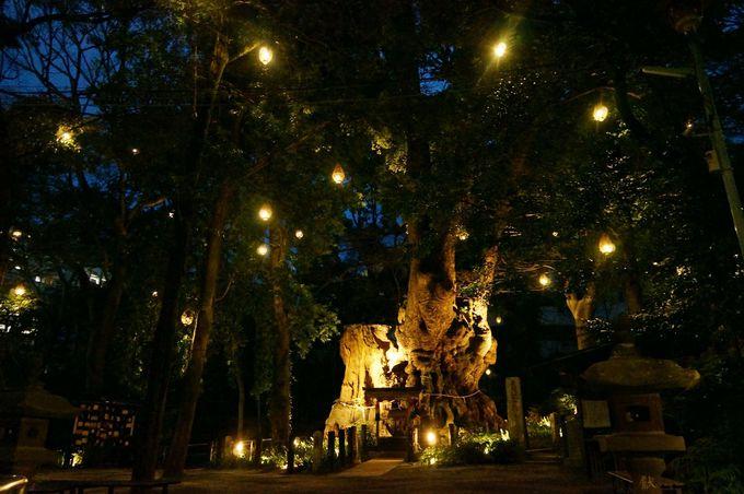 夜になると美しくライトアップされる大楠