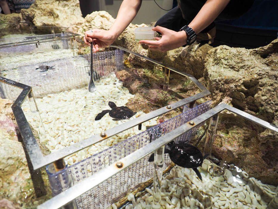 ウミガメの赤ちゃんを展示。可愛いから一歩先へ…