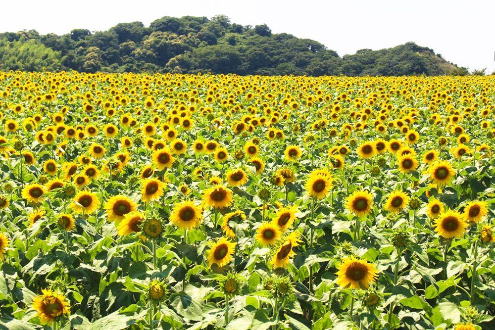 12月まで咲く「ひまわり」に囲まれたい!愛知・観光農園 花ひろば