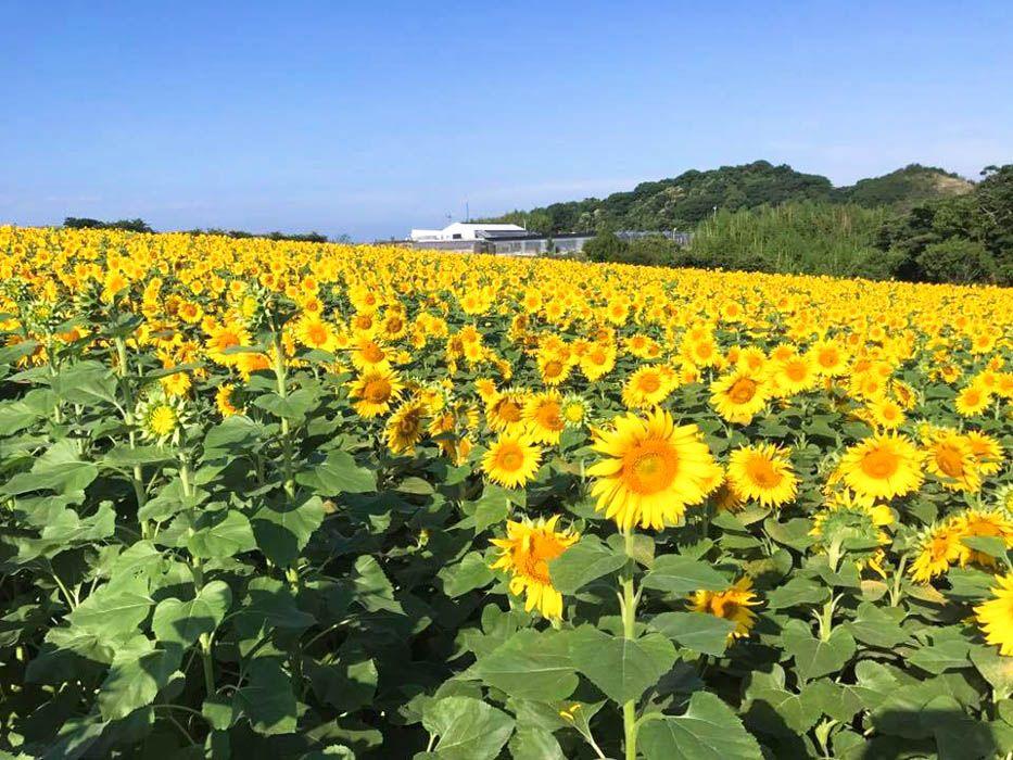 秦 基博さん「ひまわりの約束」MVのロケ地になったひまわり畑