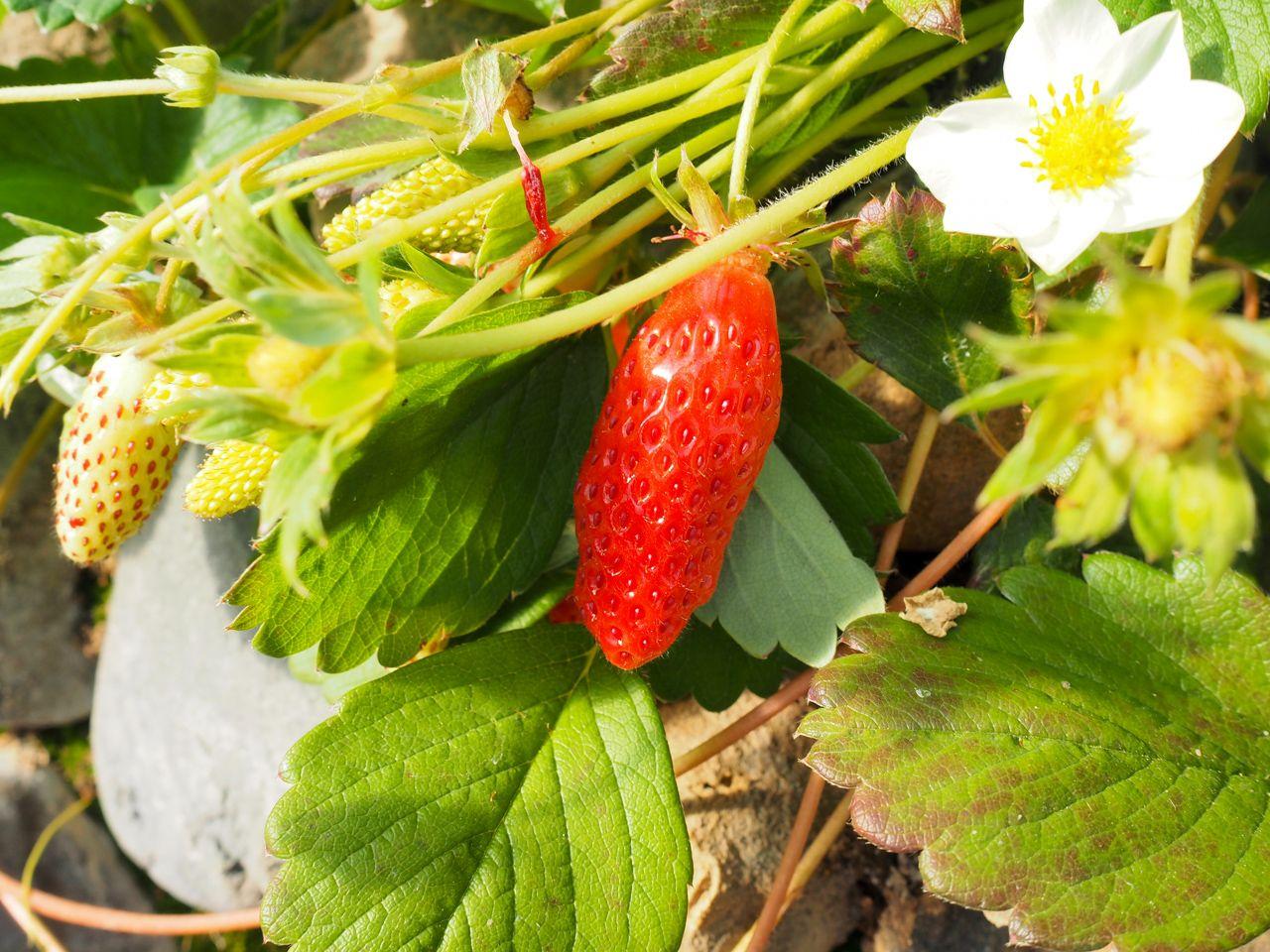 国内品種第一号!貴重な「福羽いちご」も栽培